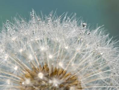 cvetok-oduvanchik-bylinka-rosa