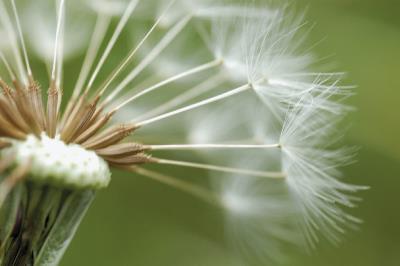 oduvanchik.semennye-parashyutiki-1-1024x681