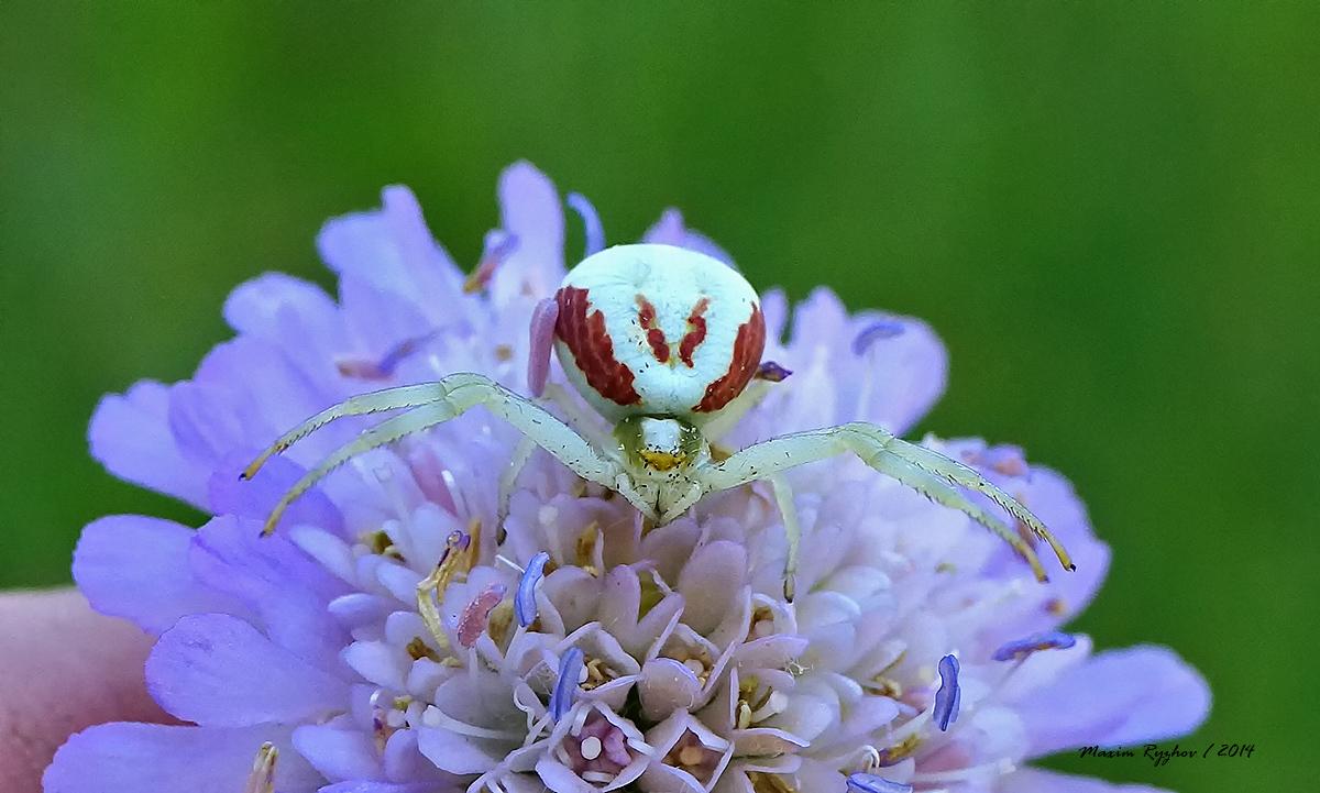 цветочный паук картинка что