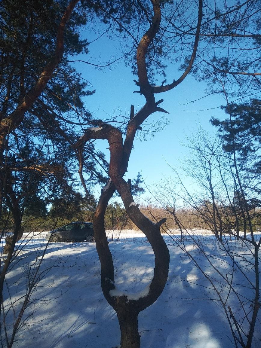 дерево сплетение