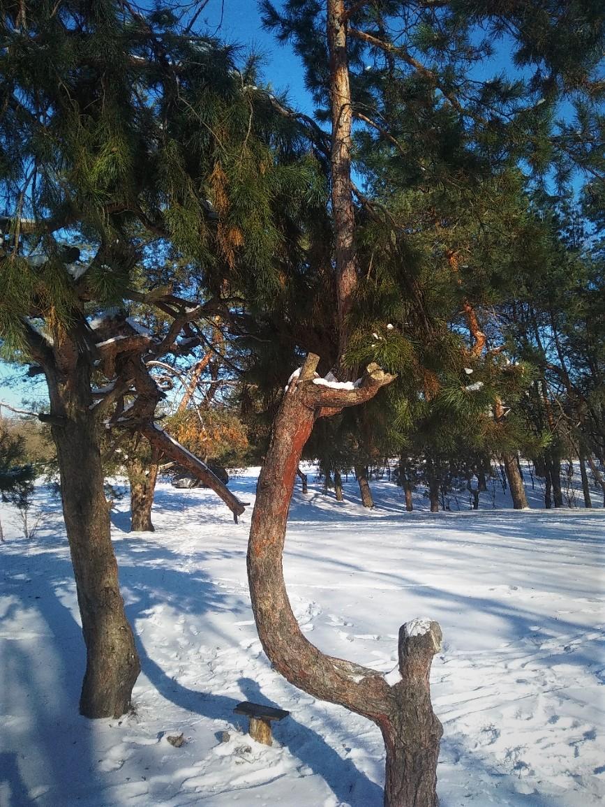 Дерево седло