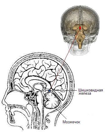 Носовая полость и мозг