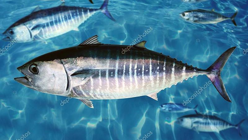 Thunnus_thynnus1_static6.depositphotos.com_1053932_556_i_950_depositphotos_5569931-stock-photo-bluefin-tuna-thunnus-thynnus-fish_zatemn9_contrast17_rezk_autocolour_aB