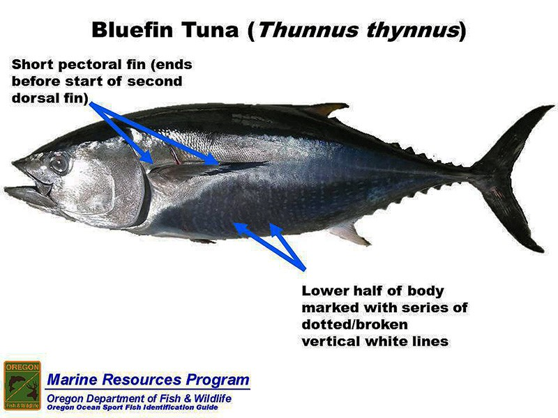 Thunnus_thynnus9_risunok1_www.mulierchile.com_bluefin-tuna_bluefin-tuna-005_zatemn40_contrast20_rezk_osvet_autocolour_aB