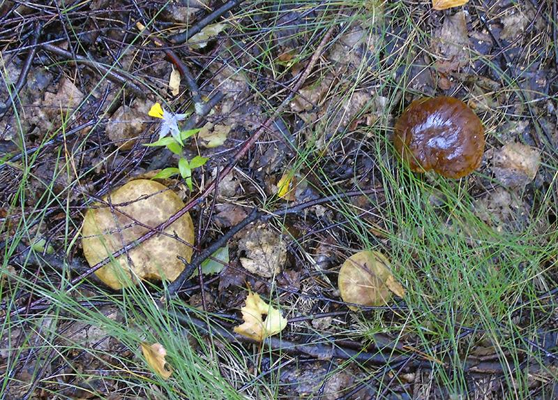 отеческие грибы mohoviki1_i_boletus1_aB