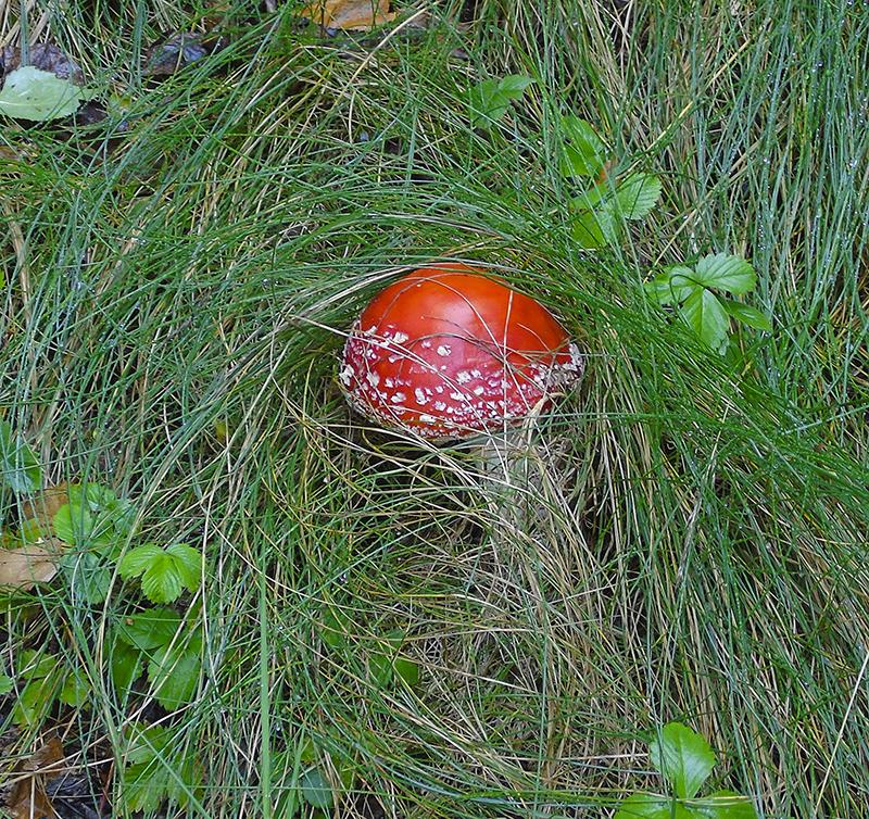отеческие грибы muhomor2_red1_aB