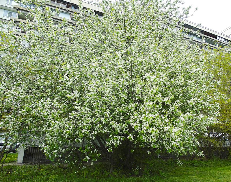 tree3_flowers1H+_aB