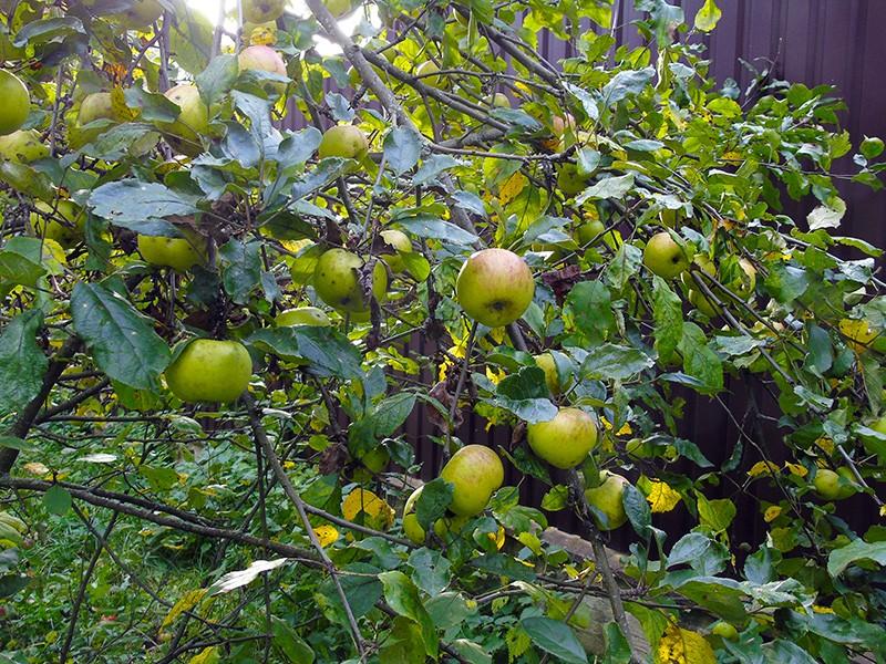 apples4+_aB