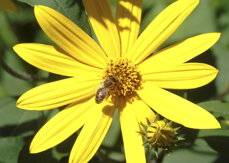 yellow_flower1_bee1D+_aB