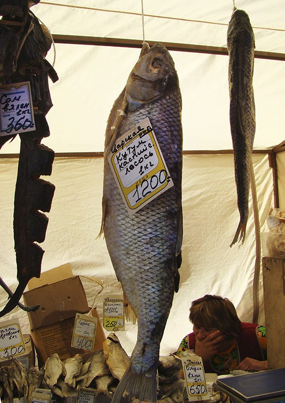 того, каспийская рыба кутум фото наша будущем опора