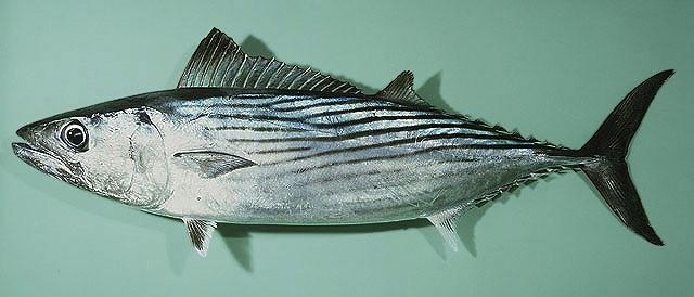 Sarda_australis_gbif.sinica.edu.tw_images_species_Saaus_u0_zatemn18_contrast18_