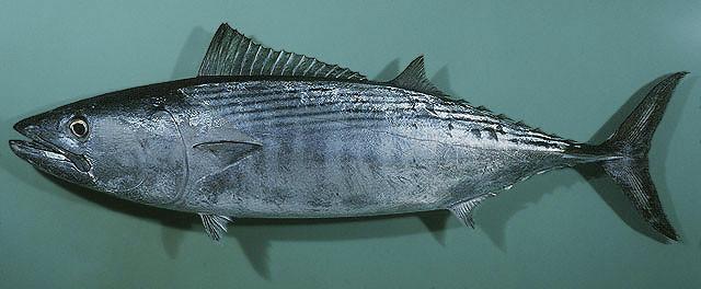 Sarda_orientalis_fishbase.org_images_species_Saori_u0-zatemn11_contrast22_