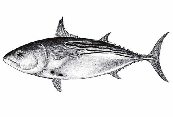 Euthynnus_lineatus2_risunok1_biogeodb.stri.si.edu_sftep_resources_img_images_species_2229_5655_aA