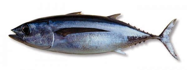 Thunnus alalunga2_www.unitedfisheries.co.nz_sites_default_files_species-albacoretuna_zatemn14_contrast22_autocolour_aA
