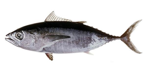 ThunnusMaccoyi1_fishesofaustralia.net.au_Images_Image_ThunnusMaccoyiCSIRO_zatemn11_contrast20_rezk_aB