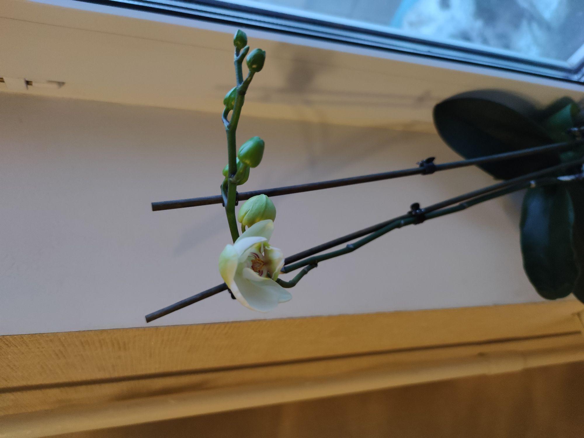 Бывшая синяя орхидея