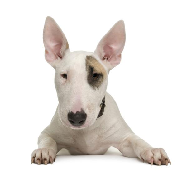 bull-terrier-1-2