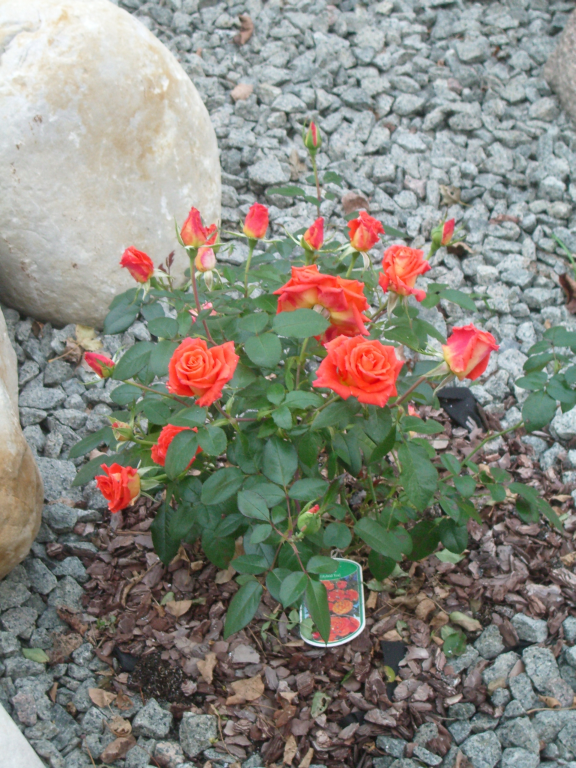 rose_fire