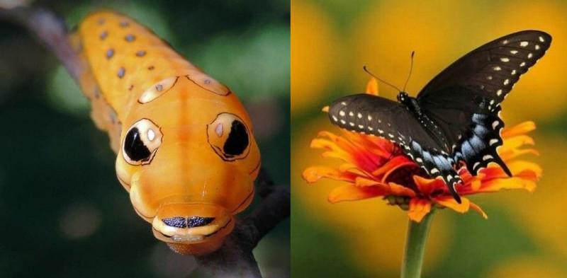 Гусеницы и бабочки