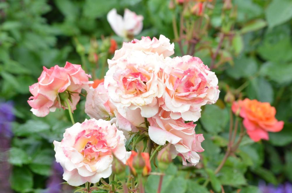 Розы расцвели без нас. Пока мы сидели взаперти. Правда, розы тоже оставались взаперти. Розарий Ботанического сада открылся в середине июля. Розарии ВДНХ в конце июля. Пришли садовники и очистили природу, придав ей обычный садово-парковый вид.