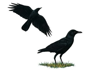 american-crow-illustration_16936_600x450