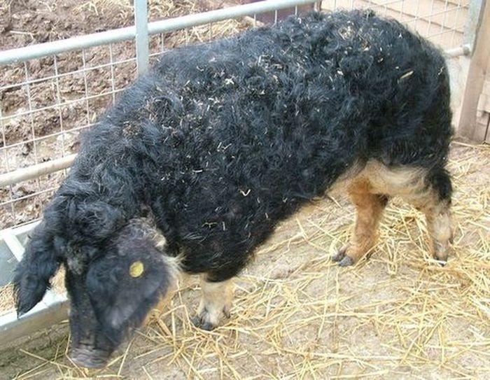 Свиньи породы венгерская мангалица фото