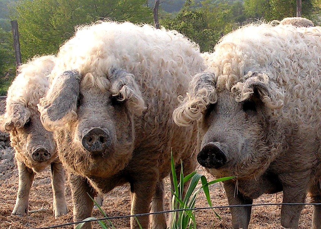 меховые свинки