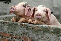 Оптимистичное начало года для свиноводства в Бразилии