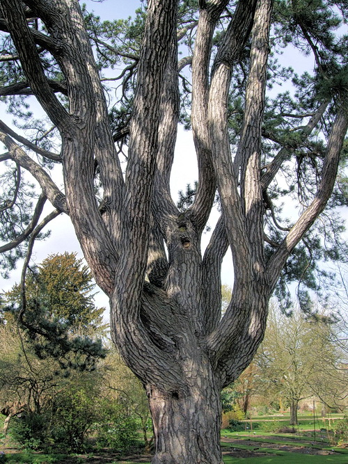 Tolkien's favourite tree, the pinus nigra in the Oxford Botanic Garden, March 2009