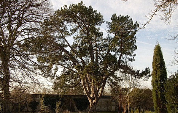 Tolkien's favourite tree, the pinus nigra in the Oxford Botanic Garden, recent photo