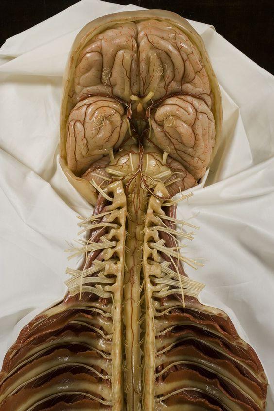 Картинка дня: мозг, ствол мозга и спинной мозг из воска
