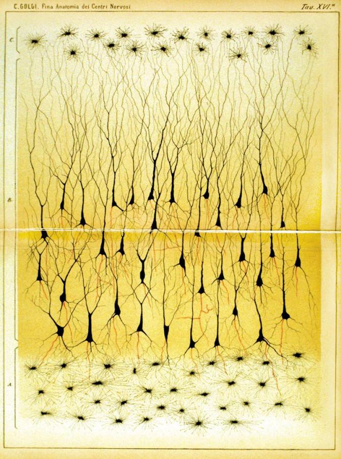Картинка дня: клетки гиппокампа от Камилло Гольджи