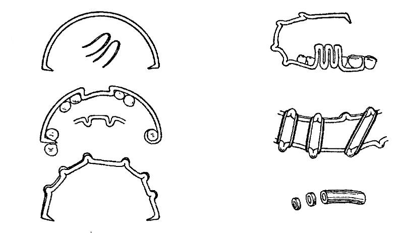 Кольцо Вальдейера-Пирогова