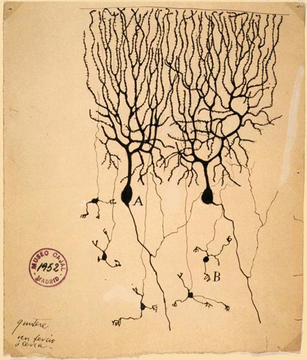 Клетки Пуркинье и гранулярные клетки мозжечка в рисунке Сантьяго Рамон-и-Кахаля