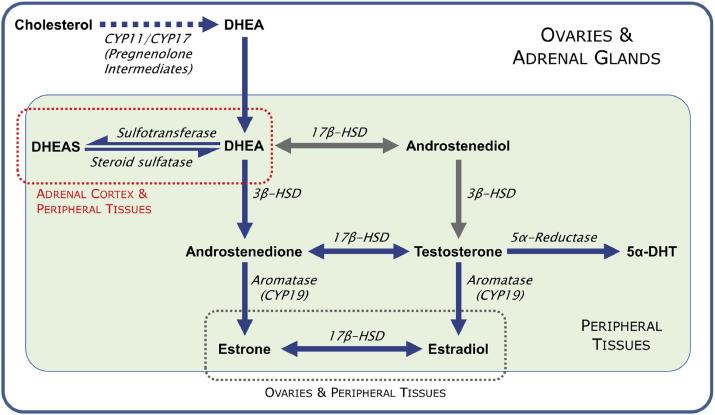 CYP = цитохром P450; DHEA = дегидроэпиандростерон; DHT = дигидротестостерон; HSD = гидроксистероиддегидрогеназа.Основные пути синтеза у человека обозначаются синими стрелами, а запасные пути обозначаются серыми стрелами