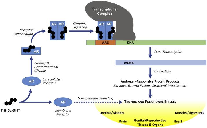 Механизм действия андрогенных рецепторов (АR)  ARE = элемент ответа андрогенов; DHT = дигидротестостерон; T = тестостерон