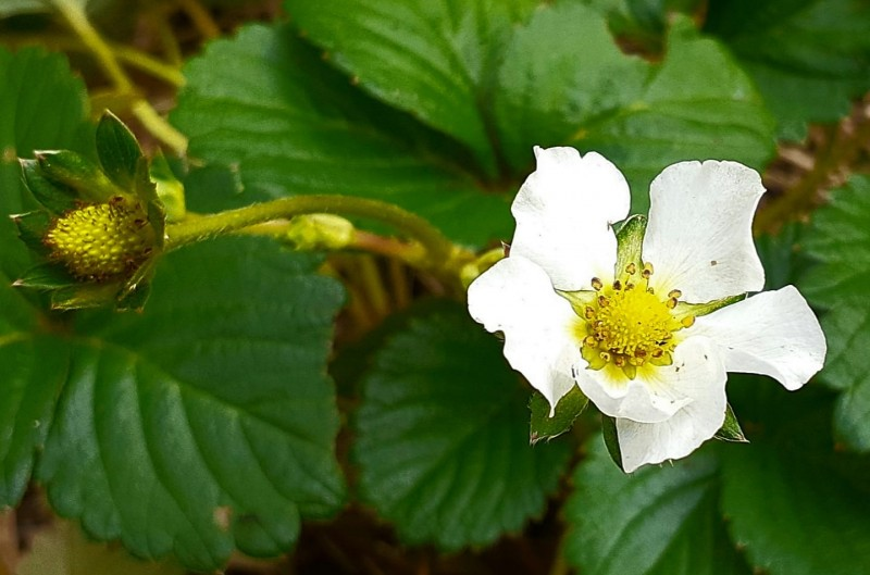 Strawberry in my herb garden.
