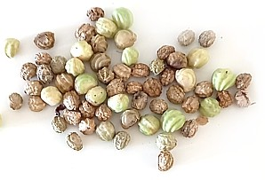 Nasturtium seeds in various stages of dryness