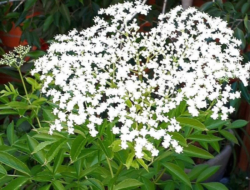 Elderflower grows prolifically and it's sweet, fragrant flowers are both beautiful and delicious!