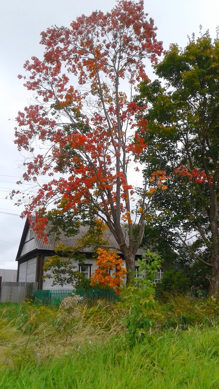 На этом дереве — все оттенки оранжевого, от янтарного до красно-рыжего (Фото автора)