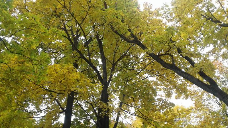 Главный соблазн осени — золото (Фото автора)