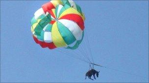 frightened donkey on parasail