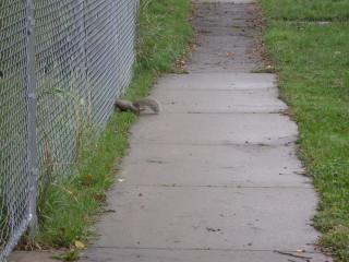 thin squirrel through chain link fence