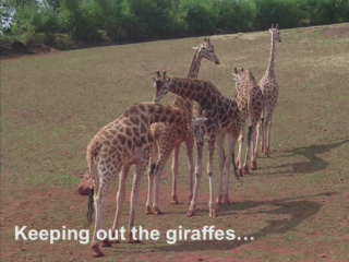 Keeping Out The Giraffes
