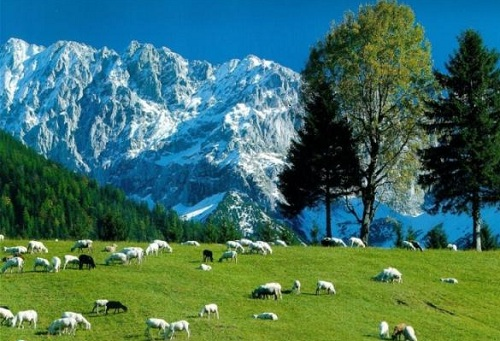 Molise_sheeps