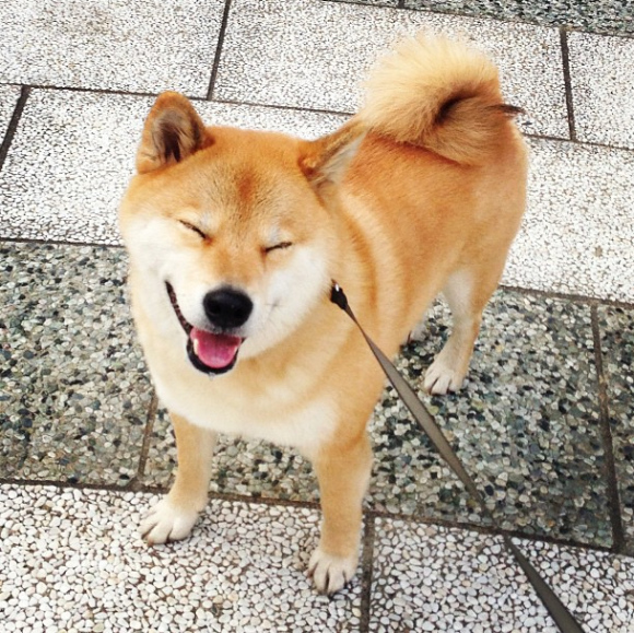 maru-the-most-popular-and-possibly-cutest-dog-in-the-world-12