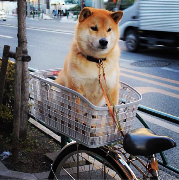 maru-the-most-popular-and-possibly-cutest-dog-in-the-world-16