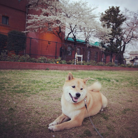 maru-the-most-popular-and-possibly-cutest-dog-in-the-world-20