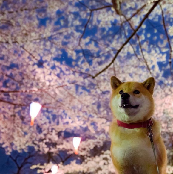 maru-the-most-popular-and-possibly-cutest-dog-in-the-world-24