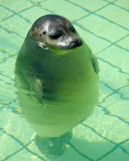 Тюленя